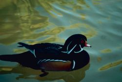 Wood Duck, Drake Photo