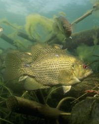 Rock Bass Photo