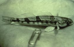 Snail Darter Photo