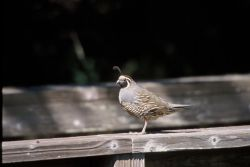 WO10 California Quail Photo