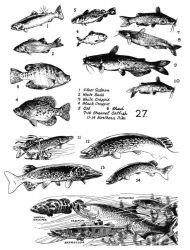 Fish 27 Photo