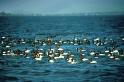 Canvasbacks Photo