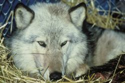 Gray Wolf Relocation Photo
