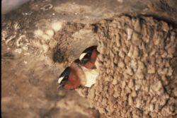 WO15 Cliff Swallow Photo