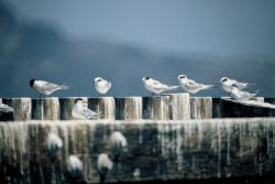 WO16 Common Terns Photo