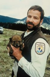 Gray Wolf Pup Relocation Photo