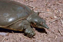 Texas spiny softshell turtle Photo