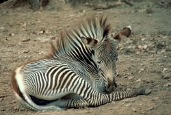Grevy's Zebra Photo