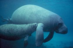 Manatee calf nursing Photo