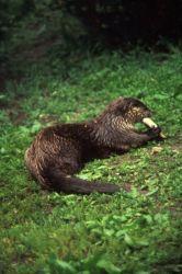 River Otter Photo