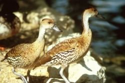 Whistliing Ducks Photo
