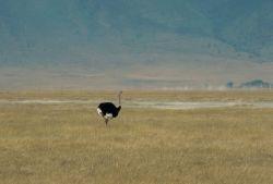 Ostrich (Male) Photo