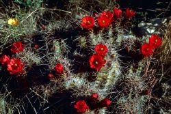 Claret Cup Cactus Photo