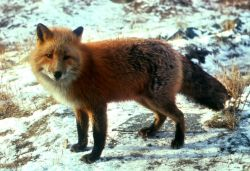 WO2231 Red Fox Photo