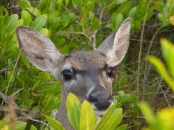 Key Deer in red mangroves Photo