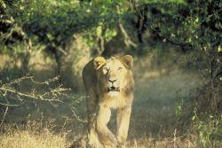 Asiatic Lion Photo
