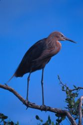 Reddish Egret Photo