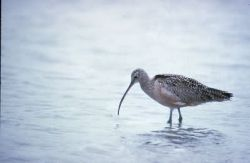 Long Billed Curlew Photo