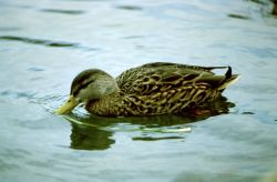 New Mexican Duck Photo