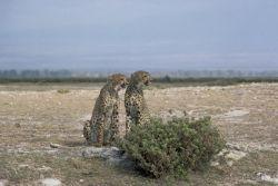 Cheetahs Photo