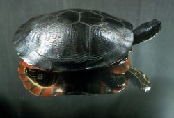 Plymouth Red-bellied Turtle Photo