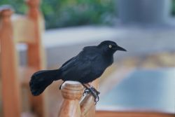 Greater Antillean Grackle (Puerto Rico) Photo