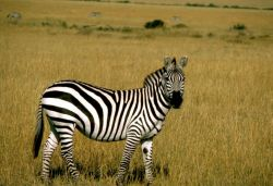 Grant's zebra Photo