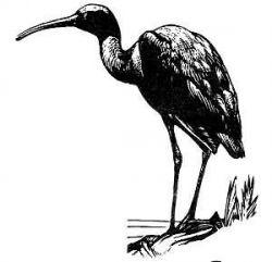 glossy ibis 3 Photo