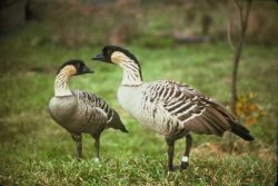 Hawaiian Geese Photo