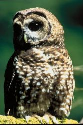 Northern Spotted Owl Photo