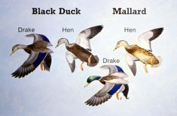 Black Duck and Hen Mallard Characteristics Comparison Diagram Photo