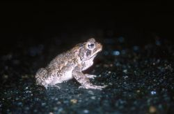 Fowler's Toad (Bufo fowleri) Photo