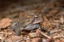 American Toad (Bufo americanus) Photo