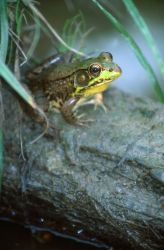 Green Frog (Rana clamitans) Photo