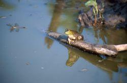 Bullfrog (Rana catesbeiana) Photo