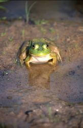 Bullfrog (Rana catesbeiana) Photo