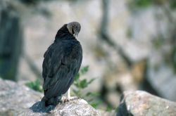 Black Vulture (Coragyps atratus) Photo