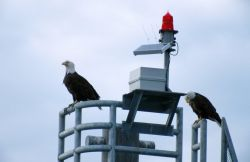 Bald Eagles (Haliaeetus leucocephalus) Photo