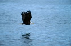 Bald Eagle (Haliaeetus leucocephalus) Photo