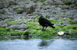 Crow (Corvus caurinus) Photo
