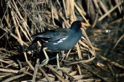 Common Moorhen (Gallinula chloropus) Photo