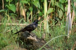 Common Grackle (Quiscalus quiscula) Photo