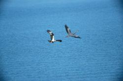 Great Blue Heron (Ardea herodias) Photo