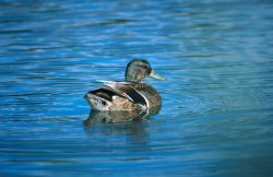 Mallard (Anas platyrhynchos) Photo