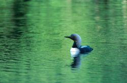Pacific Loon (Gavia pacifica) Photo