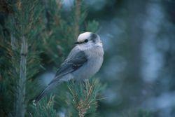 Gray Jay (Perisoreus canadensis) Photo