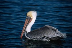 Brown Pelican (Pelecanus occidentalis) Photo