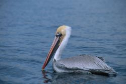 Brown Pelican with Fishhook Caught in Bill Photo