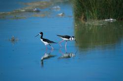 Black-necked Stilt (Himantopus mexicanus) Photo