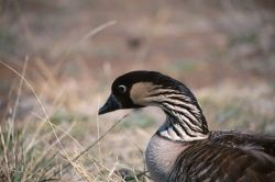 Nene (Branta sandvicensis) Photo